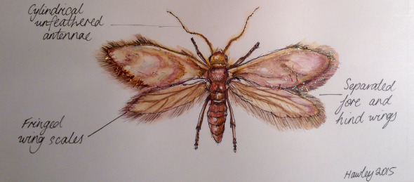 A dorsal illustration of the moth.